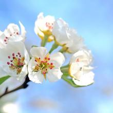 apple-blossoms-1368187_480.jpg